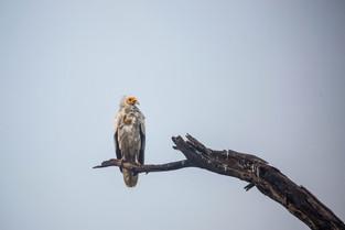 Egyptian Vulture, Bharatpur Bird Park, India