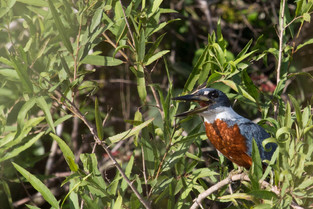 Amazon Kingfisher, Pantanal, Brazil