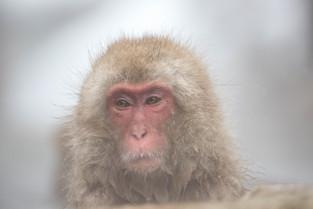 Snow Monkey in thermal pool, Jigokudani, Honshu, Japan