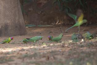 Plum Headed Parakeet, Ranthambore National Park