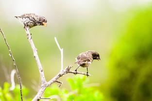 Darwin Finches, Galapagos
