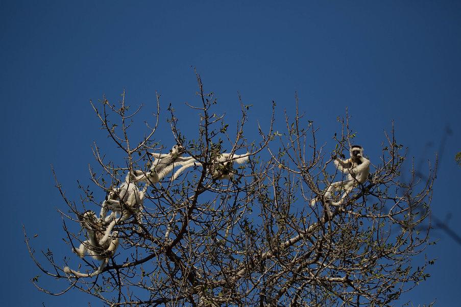 The lemur tree, Berenty, Madagascar