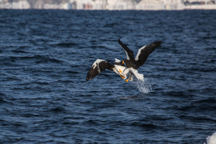 2 Steller Eagles fight for a fish over the water, Rausu, Hokkaido