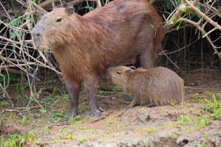 Cabybaras baby feeding, Pantanal, Brazil