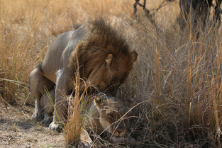Lion and Lioness attempting to increase the population, Luangwa National Park