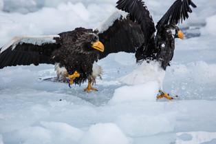 Steller Eagles fighting over a fish, Rausu, Hokkaido, Japan