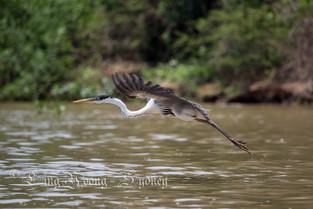 Cocoi Heron in flight, Pantanal, Brazil