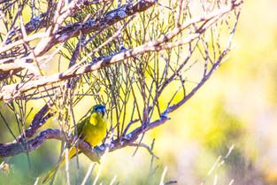 rock parrot, South Australia