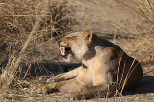 Lioness, Luangwa National Park