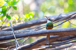 Rufous Tail Jacamar with dragon fly for lunch