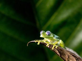 Glass Frog- translucent, Costa Rica
