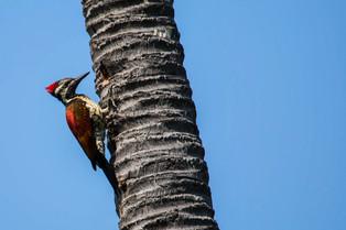 Black rump woodpecker, Sri Lanka