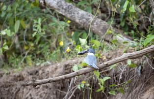 Amazon Kingfisher caught a Fish, Panatanal, Brazil