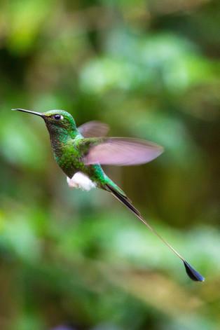 tuff feet paddle tail hummingbird, Cloud forest, Quito, Ecuador
