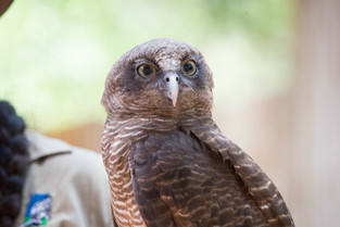 Barking Owl, Northern Territory