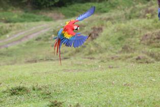 Macaw - in flight, Tilajari Ranch, Costa Rica