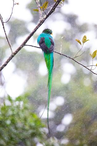 Resplendent Quetzal, Cerro de la Muerte,Costa Rica
