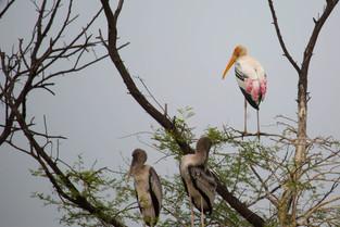 Painted Stork, Bharatpur Bird Park, India
