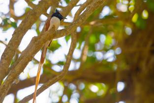 Oriental paradise flycatcher, Sri Lanka