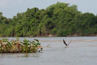 Black Skimmer, skimming; Pantanal, Brazil