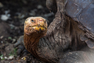 Lonesome George, Galapagos.jpg