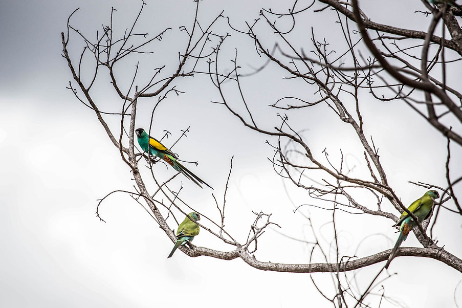 Hooded Parrots, Northern Territory