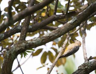 Holland's woodpecker.jpg