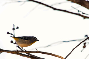 spotted pardalote, South Australia