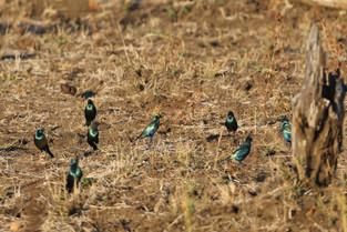 Malachite Sunbirds, Luangwa National Park, Zambia.jpg