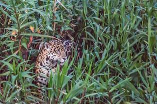 Jaquar Among the Reeds at Dusk, Pantanal, Brazil