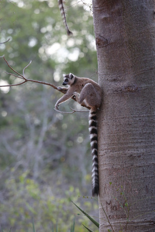 Are you alright down there_ ask the ringtail lemur, Berenty, Madagascar