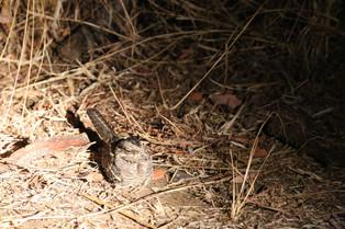 Nightjar, Luangwa National Park, Zambia.JPG