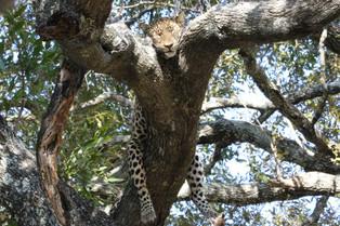 Leopard Asleep draped on a tree, Luangwa National Park