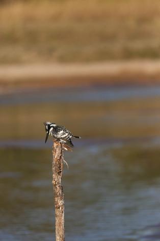 Pied Kingfisher, Luangwa National Park
