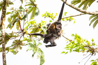 Female Howler Monkey with baby, Costa Rica