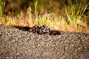 Spotted tail Quoll, Bruny Island, Tasmania