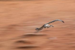 Ringtail lemur running across the road, Berenty, Madagascar