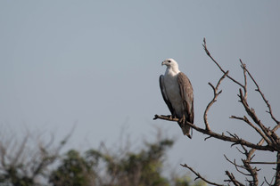 White Belly Sea Eagle, Northern Territory