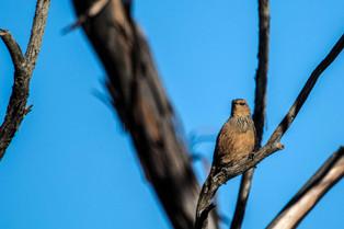 Rufous Treecreeper, South Australia