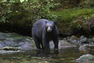 Black Bear, Bella Bella, British Columbia, Canada