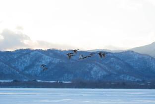 Flight of the Teals, Hokkaido, Japan