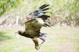 Wedge tail Eagle, Northern Territory