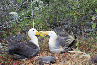 Albatrosses courting for life, Galapagos
