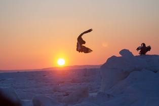 A Steller Eagle at sunrise on the sea floe off Rausu, Hokkaido