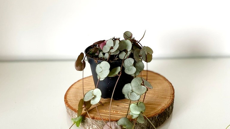 Baby String of Hearts  Ceropegia Woodii
