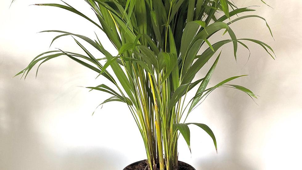Large Chrysalidocarpus Areca