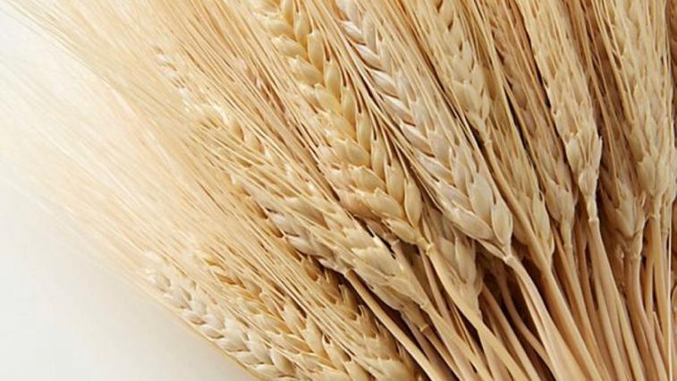 50 Dried Wheat