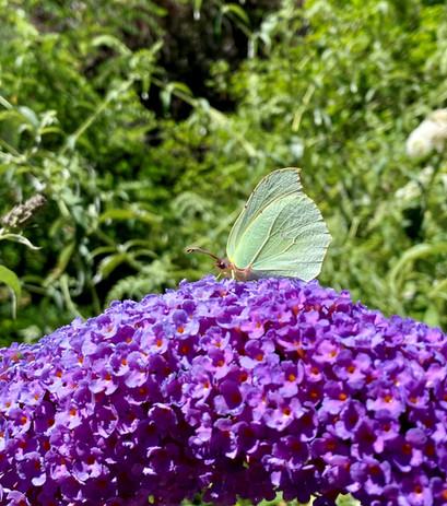 papillon sur arbre à papillon.jpg