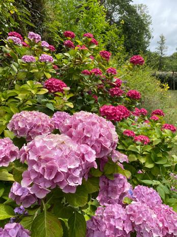 hortensias jardin maison.jpg