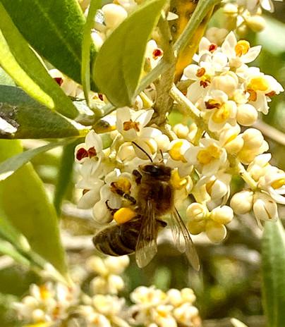 abeille sur Olivier.jpg